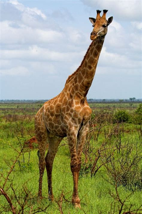 heigth of an adult giraffe jpg 533x800