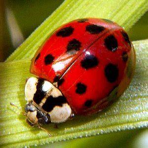 Aaaai lady beetle allergy bugging more patients jpg 300x299